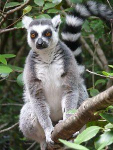 Un lémurien, une des espèces endémiques de Madagascar